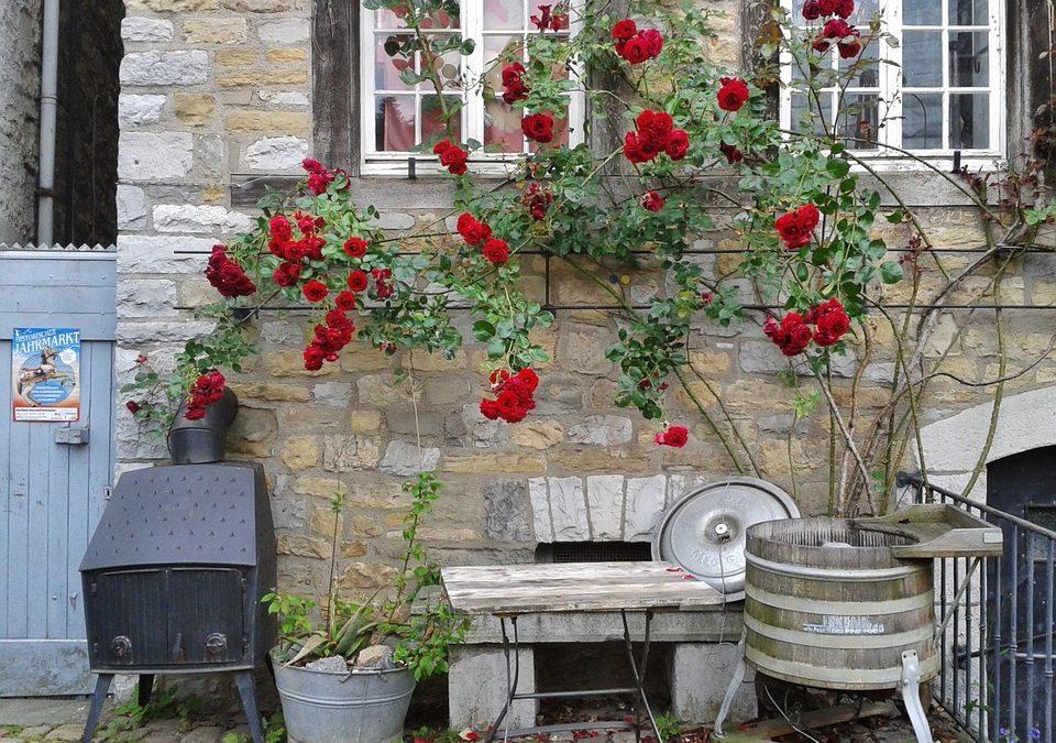 Como guiar y podar los rosales trepadores